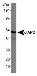 NBP1-27972 - IAP1 / BIRC3