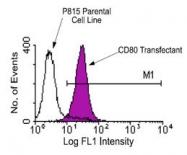 NBP1-28027 - CD80