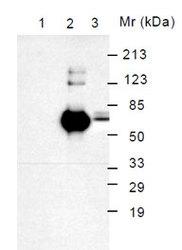 NBP1-28055 - HSPA5 / GRP78