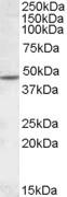 NBP1-28467 - Neuronal acetylcholine receptor subunit beta-2