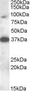 NBP1-28483 - MARCH10 / RNF190