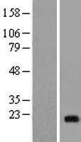 NBL1-13500 - NCALD Lysate