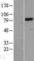 NBL1-13505 - NCAPH Lysate