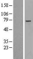NBL1-13506 - NCAPH2 Lysate