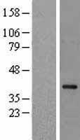 NBL1-13511 - NCF4 Lysate