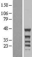 NBL1-13513 - NCK2 Lysate