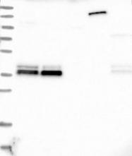 NBP1-83671 - NDE1