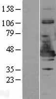 NBL1-13522 - NDE1 Lysate
