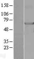 NBL1-13527 - NDOR1 Lysate