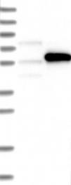 NBP1-87873 - CALCOCO2