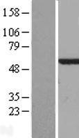 NBL1-08646 - CALCOCO2 Lysate