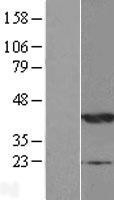 NBL1-13530 - NDRG2 Lysate