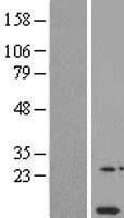 NBL1-13536 - NDUFA11 Lysate