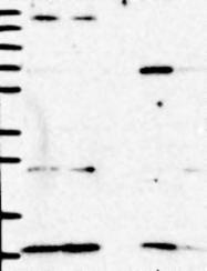 NBP1-88968 - NDUFA2