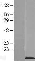 NBL1-13539 - NDUFA2 Lysate