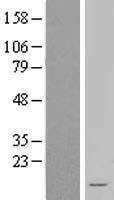 NBL1-13540 - NDUFA3 Lysate