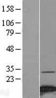 NBL1-13541 - NDUFA4 Lysate