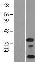 NBL1-13542 - NDUFA4L2 Lysate