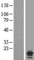NBL1-13544 - NDUFA7 Lysate