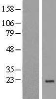 NBL1-13545 - NDUFA8 Lysate