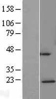NBL1-08537 - NDUFAF4 Lysate