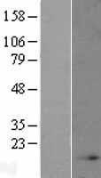 NBL1-13552 - NDUFB4 Lysate