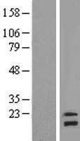 NBL1-13556 - NDUFB8 Lysate