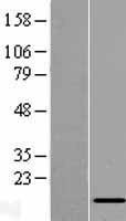 NBL1-13559 - NDUFC2 Lysate