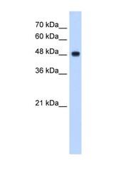 NBP1-54780 - NDUFV1