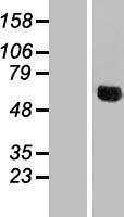 NBL1-13568 - NDUFV3 Lysate