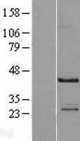 NBL1-13569 - NECAB1 Lysate