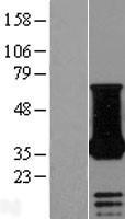 NBL1-13571 - NECAP1 Lysate
