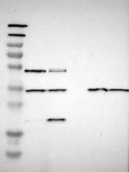 NBP1-83116 - NEGR1