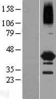 NBL1-13580 - NEIL2 Lysate