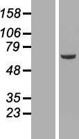 NBL1-13584 - NEK3 Lysate