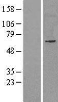 NBL1-13592 - NET1 Lysate