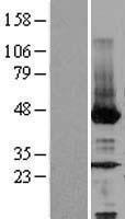 NBL1-13595 - NEU2 Lysate
