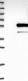 NBP1-86278 - Sialidase-4