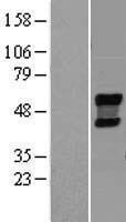 NBL1-13597 - NEU4 Lysate