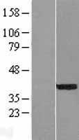 NBL1-13600 - NEUROD4 Lysate