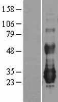 NBL1-13607 - NFAM1 Lysate