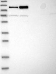 NBP1-82584 - NFATC2