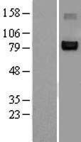 NBL1-13609 - NFAT2 Lysate