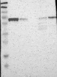 NBP1-81406 - NFIA