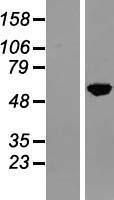 NBL1-13615 - NFIA Lysate