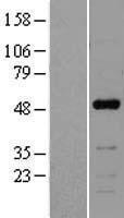 NBL1-13616 - NFIB Lysate