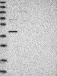 NBP1-87764 - NFKBIL2 / IKBR