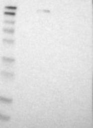 NBP1-85096 - NFRKB / INO80G