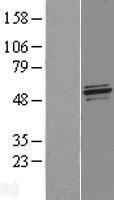 NBL1-13625 - NFS1 Lysate