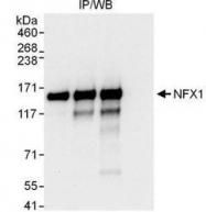 NBP1-49932 - NFX1